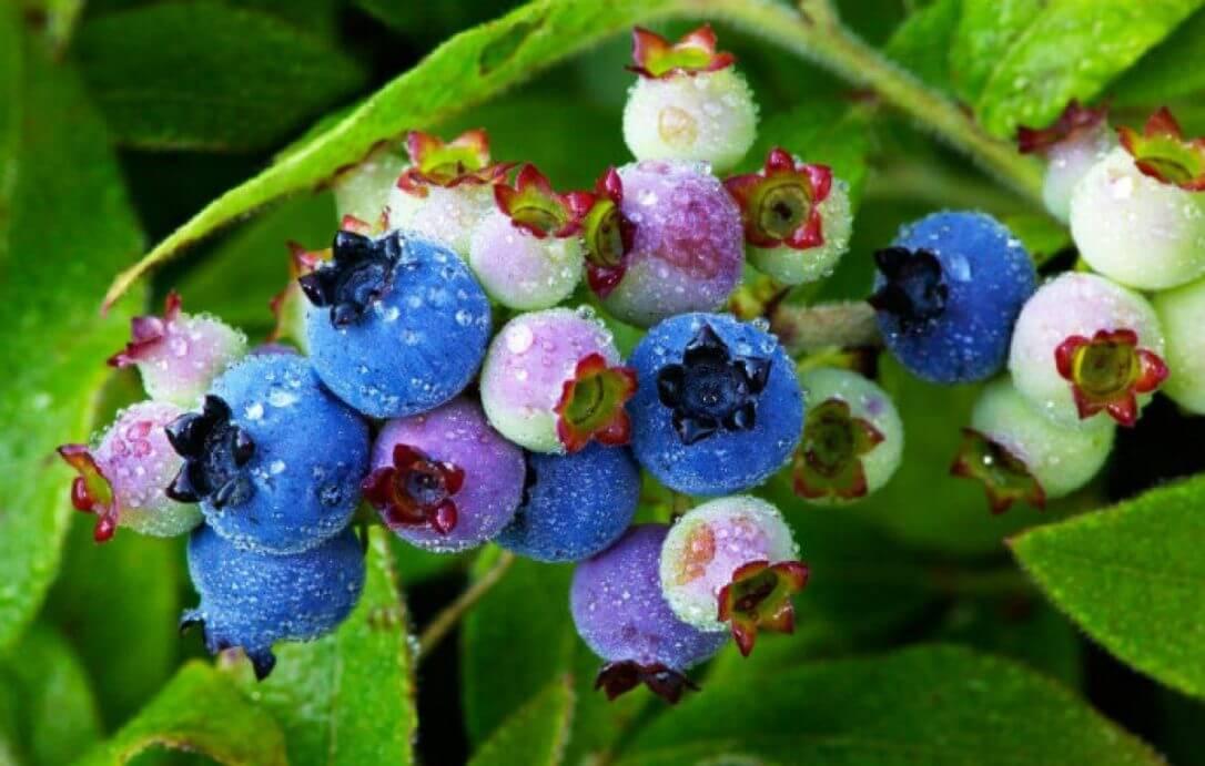 ripening blueberries on a bush