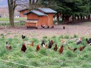 chickens on pasture - Skagit River Ranch of Washington