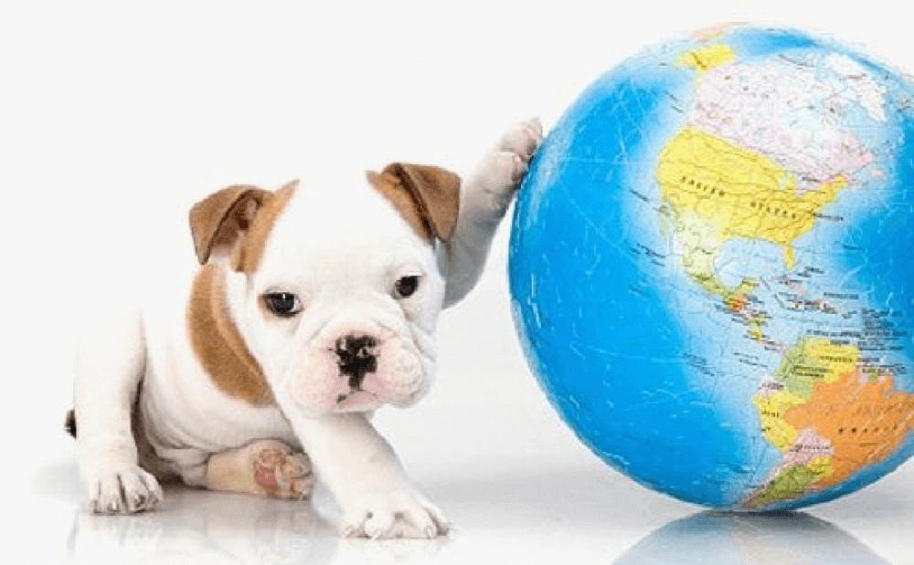 bulldog puppy with paw on a globe