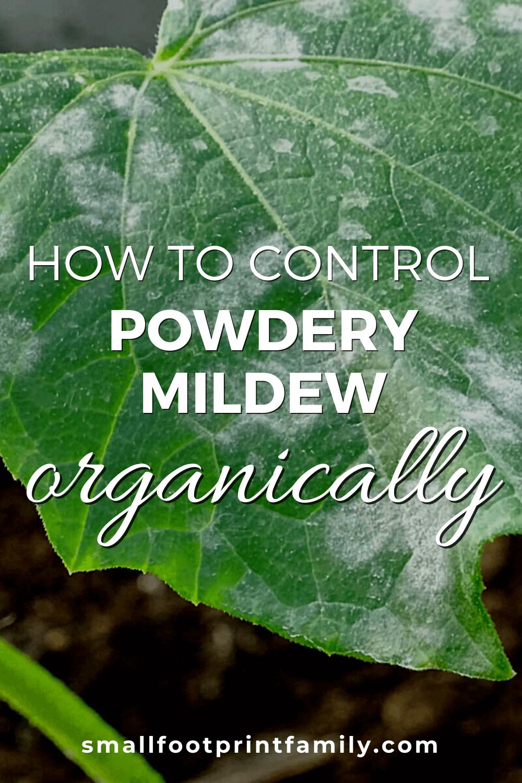 powdery mildew on a cucumber leaf