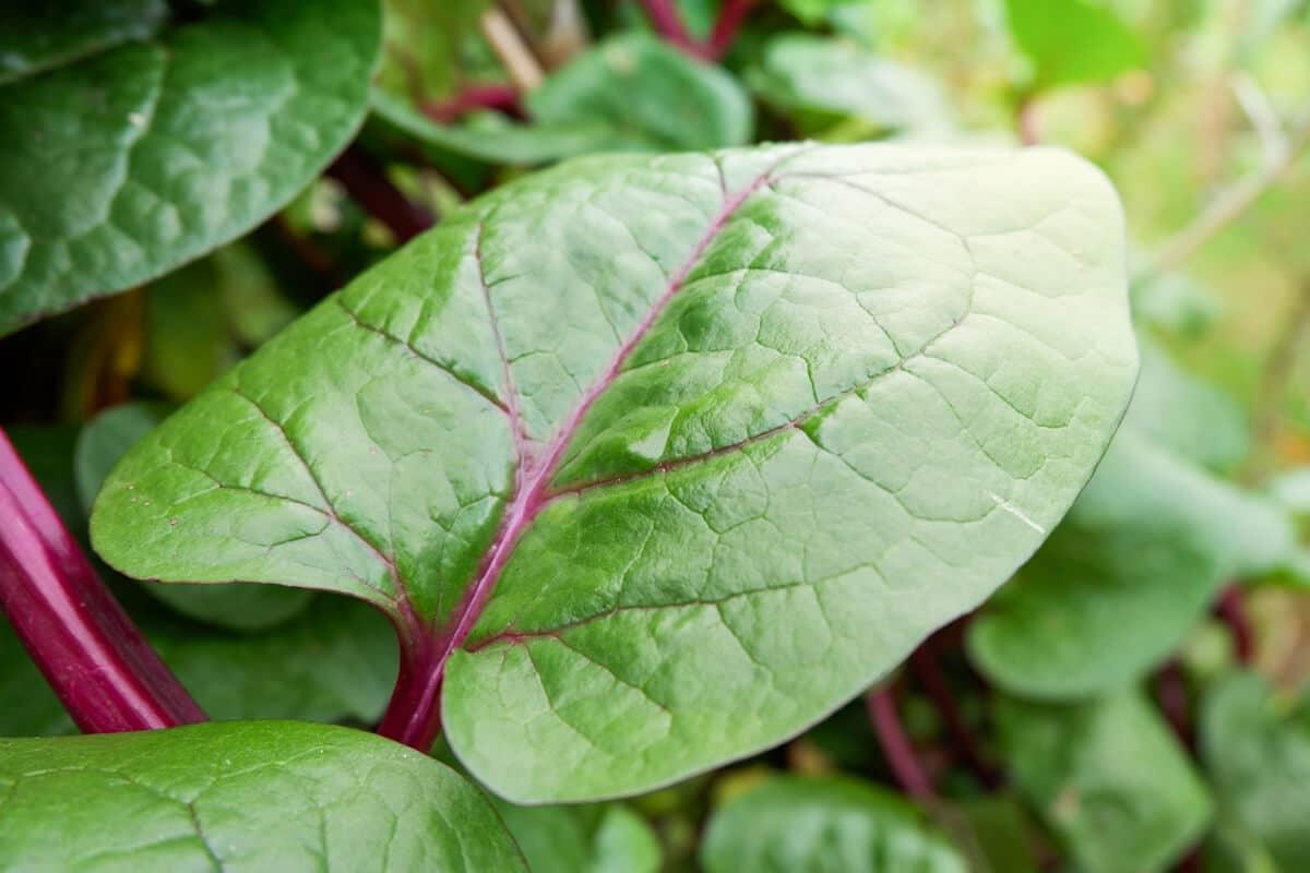 malabar spinach leaf on the vine in the garden