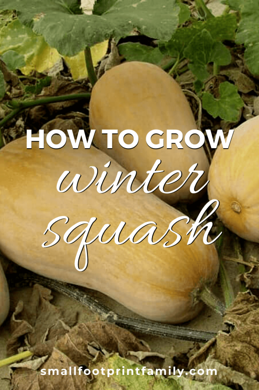 four butternut squashes on the ground