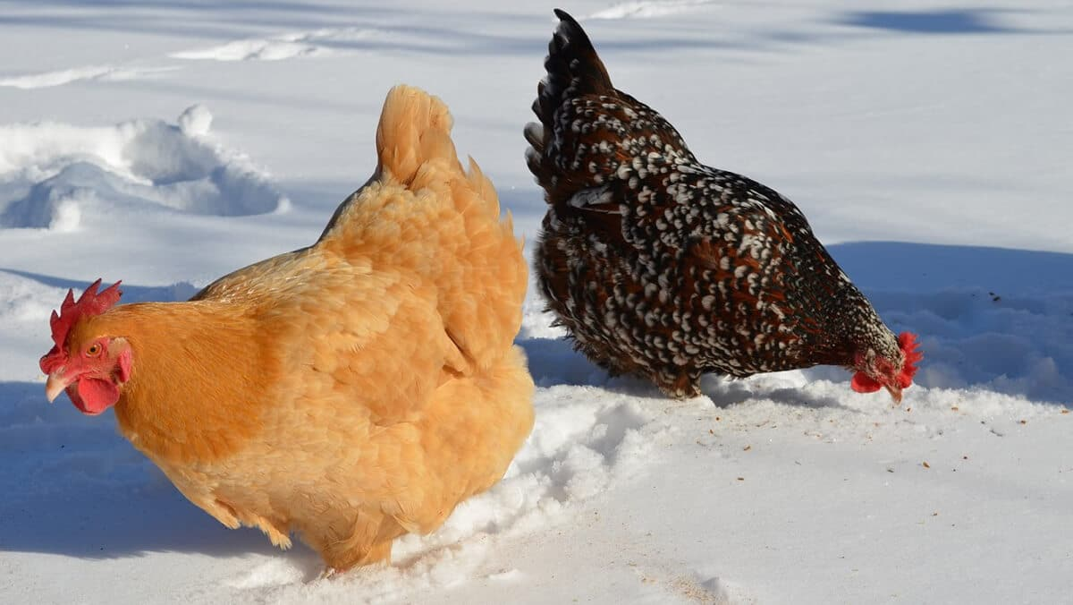 two chickens in the snow