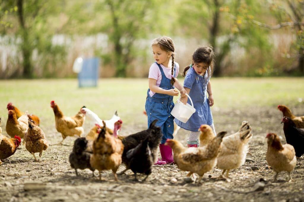 children feeding a flock of free range chickens