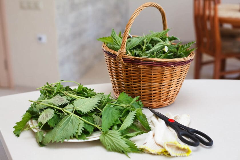 stinging nettles on a white countertop with gloves, scissors and a basket of nettles