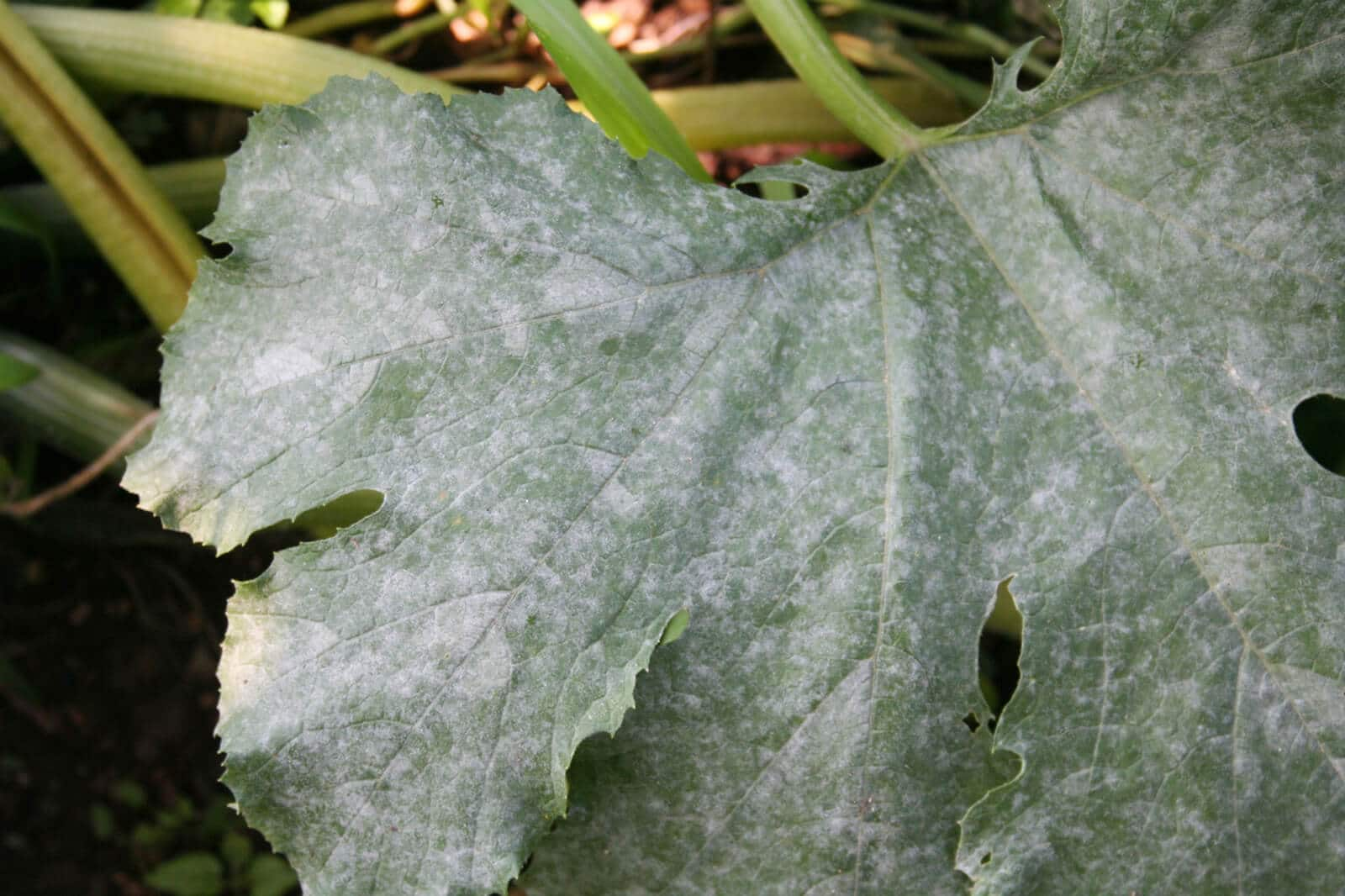 powdery mildew on zucchini leaf