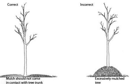 diagram of proper tree mulching technique