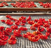 tomatoes drying on wooden racks in the sun