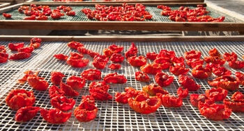tomatoes drying on racks in the sun
