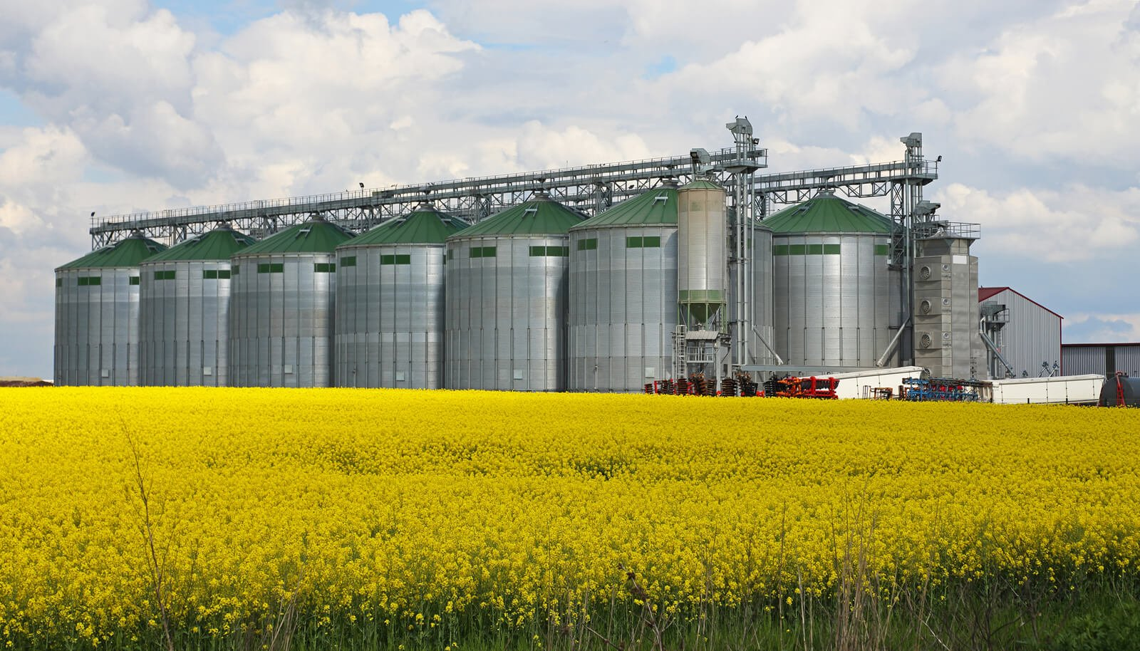 flowering canola plants in a field with silos behind