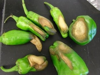 green peppers with blossom end rot on a table