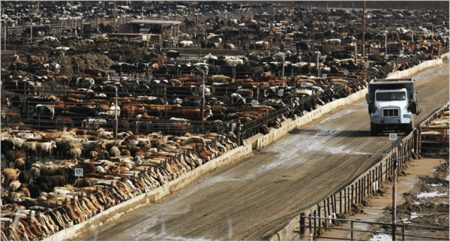 crowded feedlot full of cows
