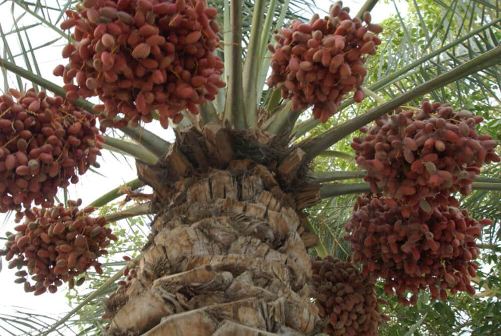 fresh dates high in a date tree