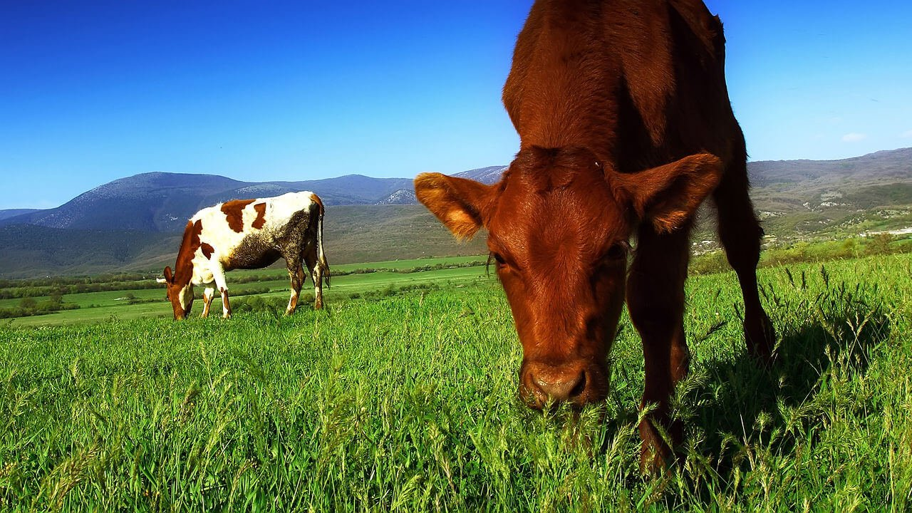cow eating grass on holistically managed pasture