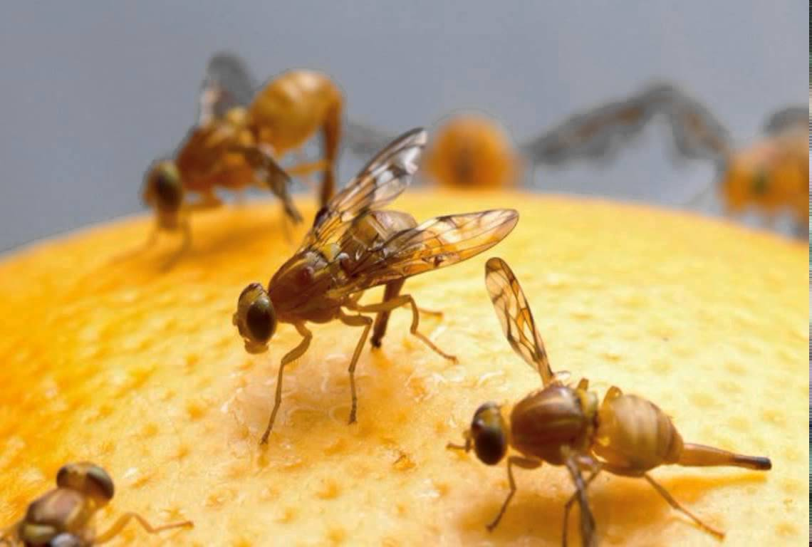 fruit flies on an orange peel