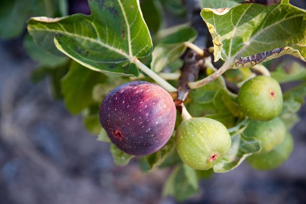 ripening figs on a branch