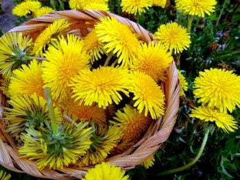 Here are two great ways to enjoy dandelion; one recipe for the leaves, and one for the flowers.