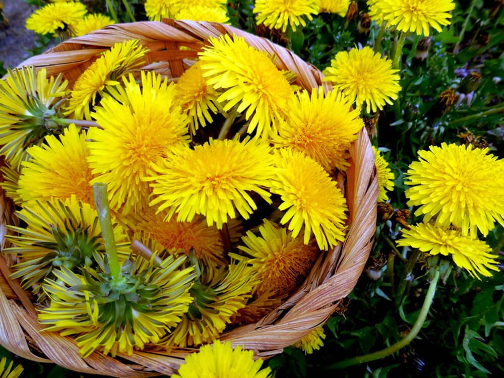 basket full of dandelion flowers