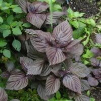 shiso leaves on the plant