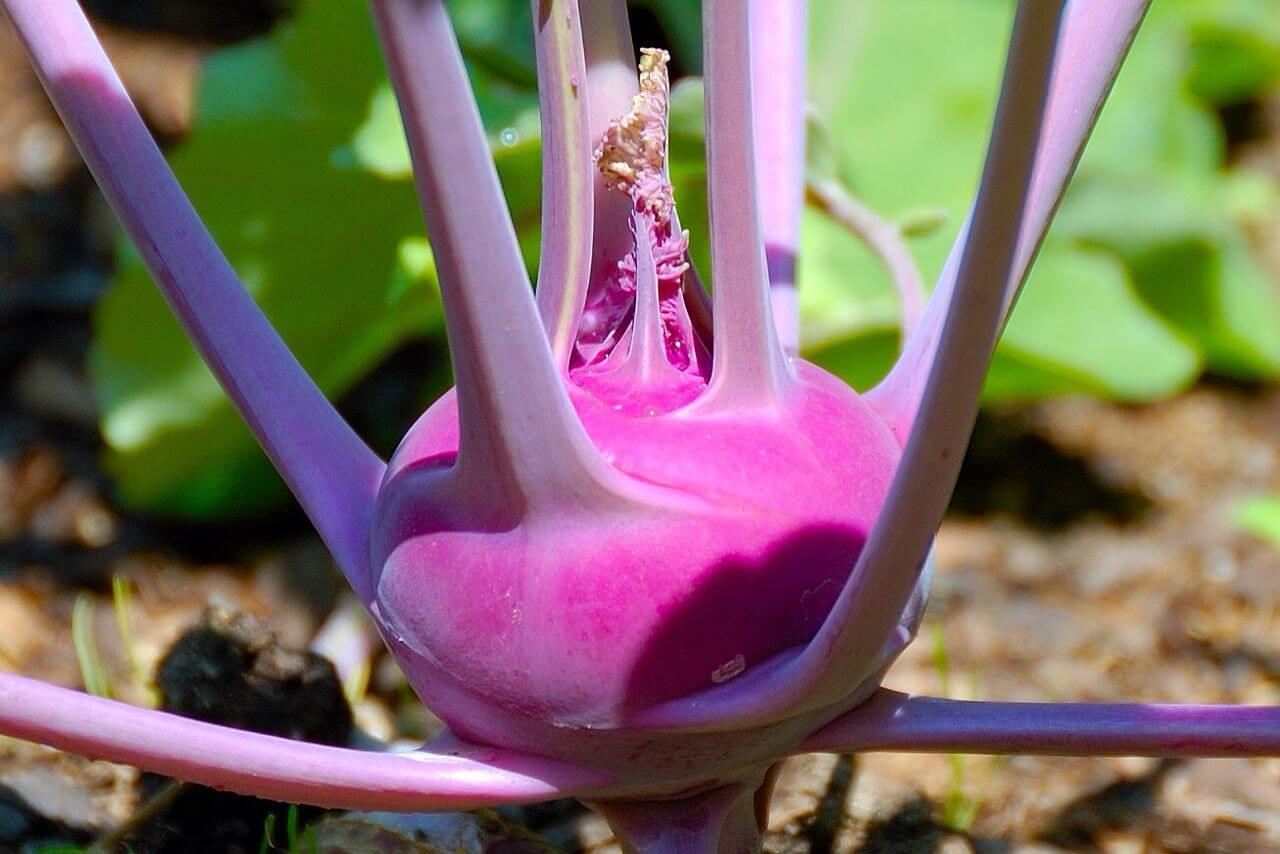 purple kohlrabi bulb in the garden