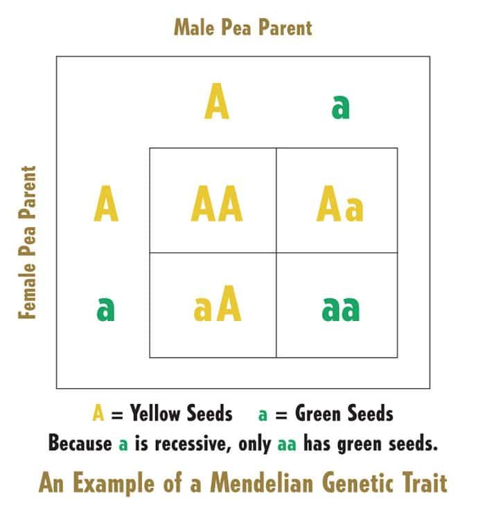 Mendel Box demonstrating genetic traits of pea plants