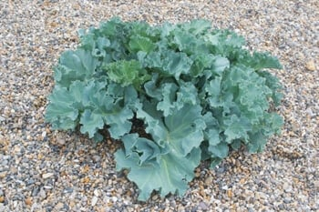 sea kale is an excellent edible perennial in the garden