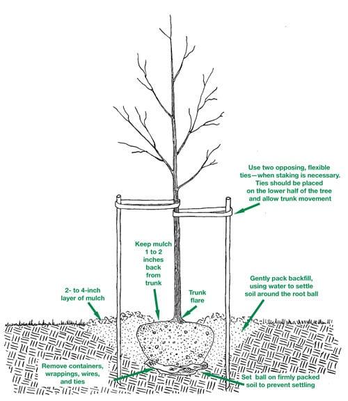 Proper tree planting diagram