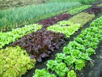 wide-row-planting-beds